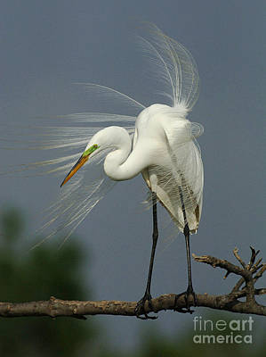 Great Egret Art Print by Bob Christopher