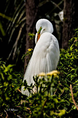 Great Egret Art Print by Christopher Holmes