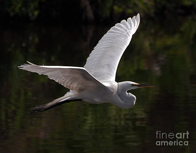 Art Print featuring the photograph Great Egret Flying by Art Whitton