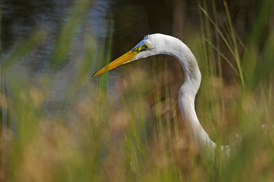 Photograph - Great Egret Hunting by Diana Douglass