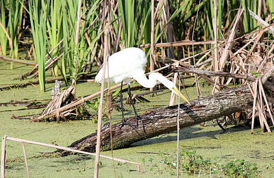 Great Egret Hunting Art Print by Suzie Banks