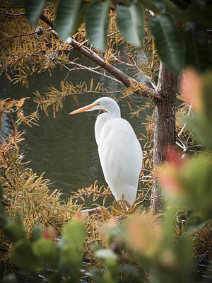 Photograph - Great Egret  In Cypress by Patrick M Lynch