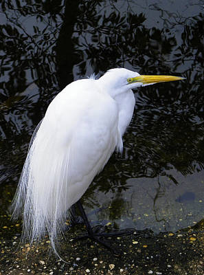 Photograph - Great Egret In Mating Plumage by Judy Wanamaker
