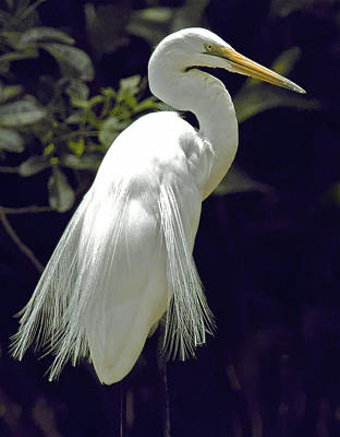 Photograph - Great Egret by Jocelyn Kahawai