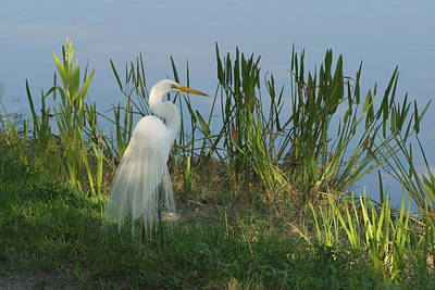 Photograph - Great Egret by John Noel