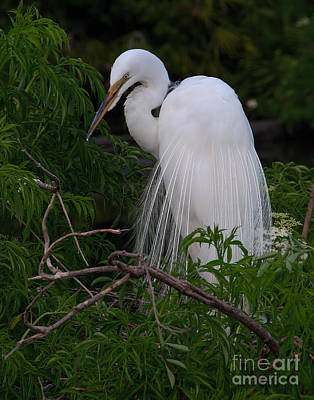 Art Print featuring the photograph Great Egret Nesting by Art Whitton