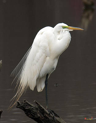 Photograph - Great Egret Resting Dmsb0036 by Gerry Gantt