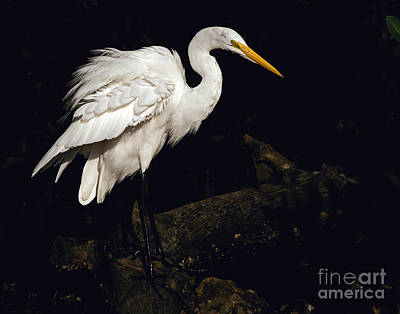 Great Egret Ruffles His Feathers Art Print
