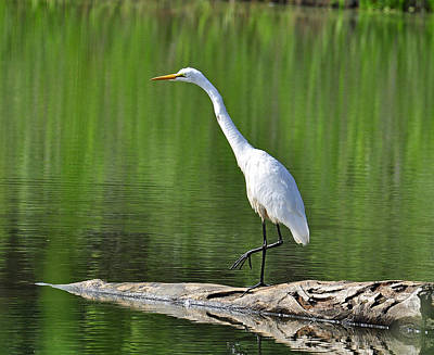 Photograph - Great Egret Stalking A Fish by Rodney Campbell