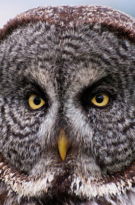 Great Gray Photograph - Great Gray Owl by Chad Graham