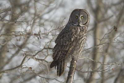 Great Gray Owl In Late Winter Forest Art Print by Grambo Photography and Design Inc.