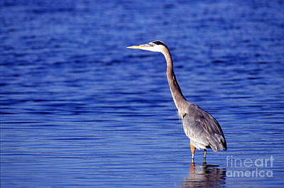 Heron Photograph - Great Grey Heron by Science Source