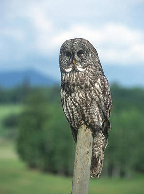 Photograph - Great Grey Owl by Jan Piet