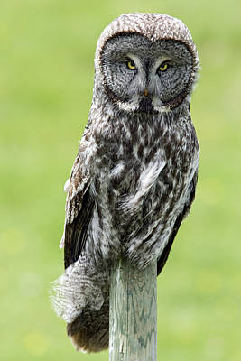 Great Gray Photograph - Great Grey Owl, Water Valley, Alberta by Darwin Wiggett