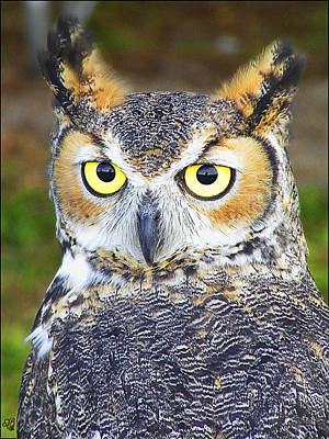 Photograph - Great Horned Owl by Barbara Middleton