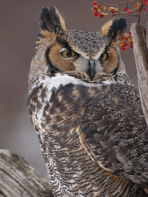 Of Bittersweet Photograph - Great Horned Owl Closeup by Cindy Lindow