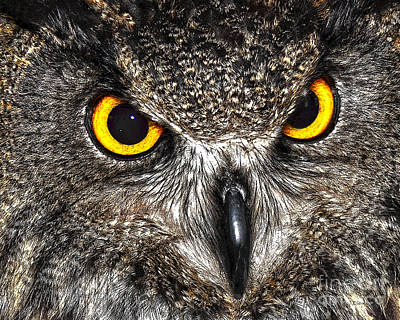 Animals Drawings - Great Horned Owl by Diane E Berry