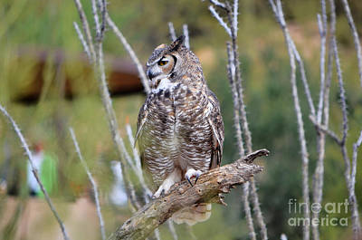Photograph - Great Horned Owl IIi by Donna Greene