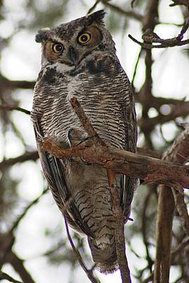 Photograph - Great Horned Owl IIi by Joe Faherty