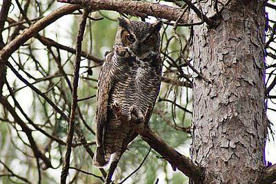 Photograph - Great Horned Owl Iv by Joe Faherty