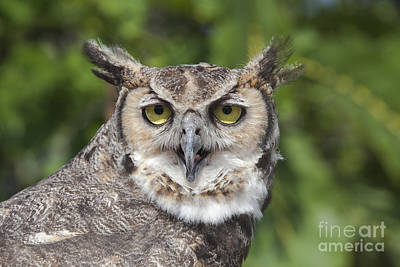 Great Horned Owl Art Print by Keith Kapple