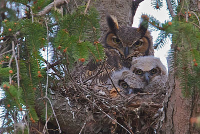 Photograph - Great Horned Owl Nest by Dale J Martin