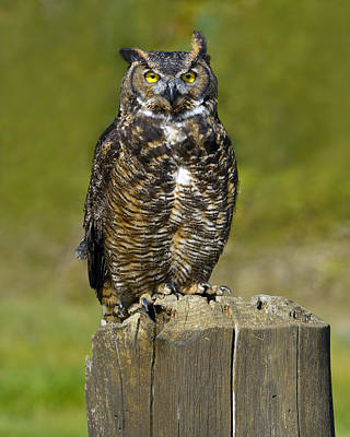 Photograph - Great Horned Owl by Tony Beck