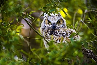 Airport Maps - Great Horned Owlet by Richard Wear