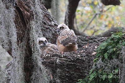 Great Horned Owlets Art Print by Jennifer Zelik