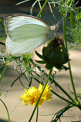 Photograph - Great Southern White Butterfly by Marie Morrisroe
