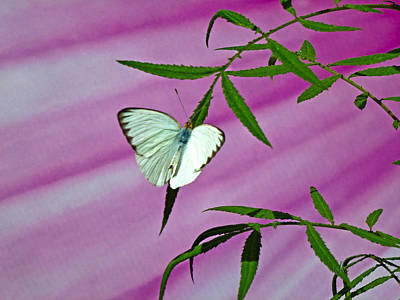Photograph - Great Southern White by Marie Morrisroe