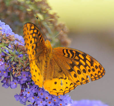 Great Spangled Fritillary Butterfly Art Print by Paul Ward