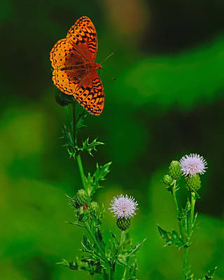 Photograph - Great Spangled Fritillary by Tony Beck