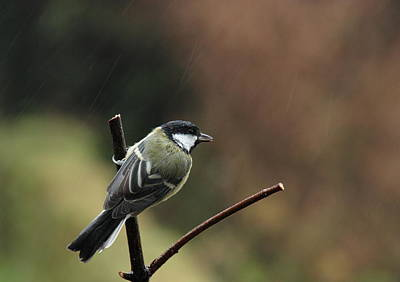 Great Tit In The Rain Art Print by Peter Skelton