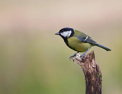 Great Tit Print by StevieC Photography