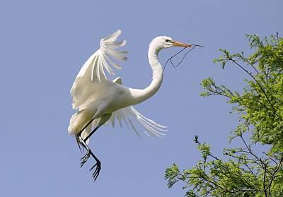 Great White Egret Building A Nest Art Print by Paulette Thomas