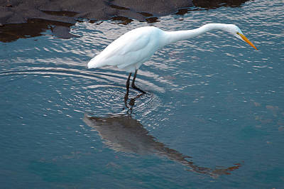 Photograph - Great White Egret by David Patterson