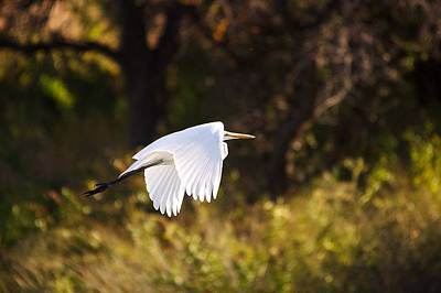 Red Roses - Great White Egret Flight Series - 5 by Roy Williams