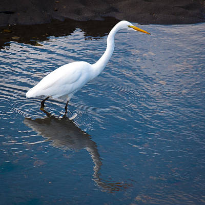Photograph - Great White Egret II by David Patterson