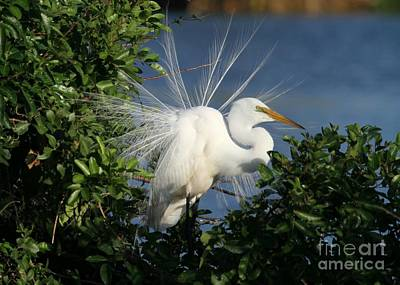 Photograph - Great White Egret In The Trees by Sabrina L Ryan