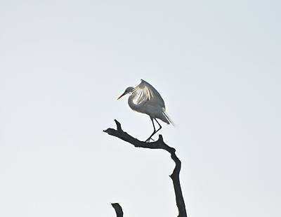 Great Egret Photograph - Great White Egret by Nancybelle Gonzaga Villarroya