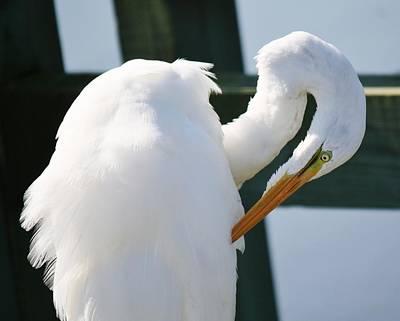 Great White Egret Preening Art Print by Paulette Thomas