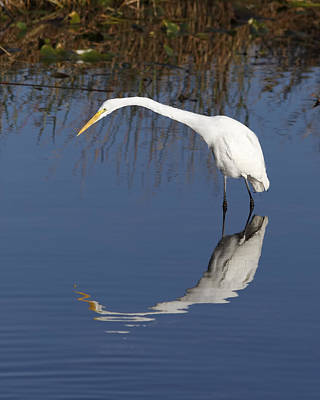Photograph - Great White Egret by Rudy Umans