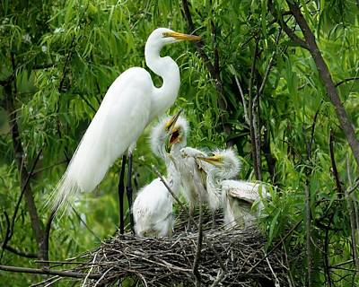 Great White Egret With Babies Art Print by Paulette Thomas