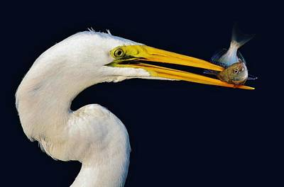 Great White Egret With His Catch Art Print by Paulette Thomas