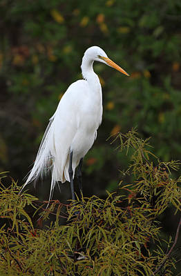 Great White Heron Near Everglades Np  Art Print by Juergen Roth