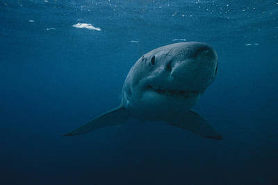 Neptune Islands Photograph - Great White Shark Carcharodon by Bill Curtsinger