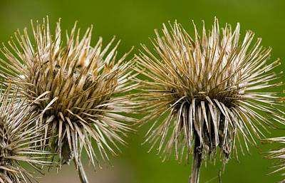 Greater Burdock Photograph - Greater Burdock (arctium Lappa) by Bob Gibbons