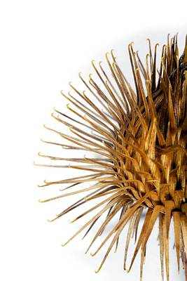 Greater Burdock Photograph - Greater Burdock Burr (arctium Lappa) by Dr Keith Wheeler