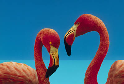 Digital Enhancement Photograph - Greater Flamingo Courting Pair by Tim Fitzharris
